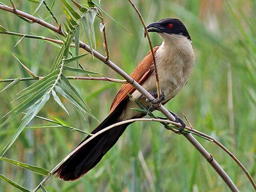 Coppery-Tailed Coucal closeup