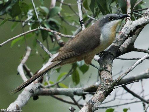 Dark-Billed Cuckoo closeup