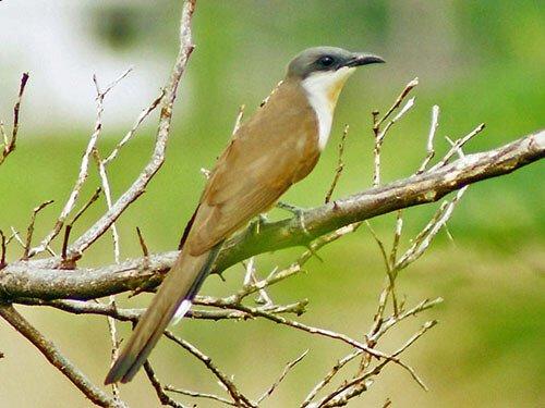 Dark-Billed Cuckoo habitat