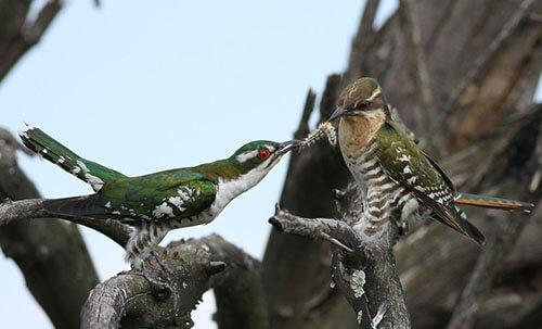 Dideric Cuckoo habitat