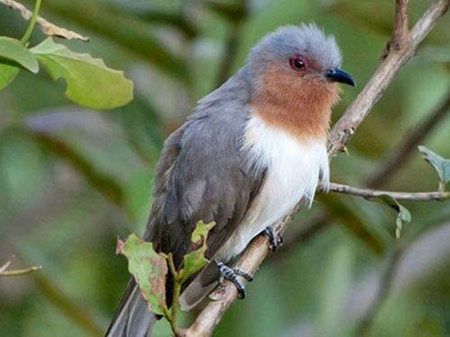 Dwarf Cuckoo closeup