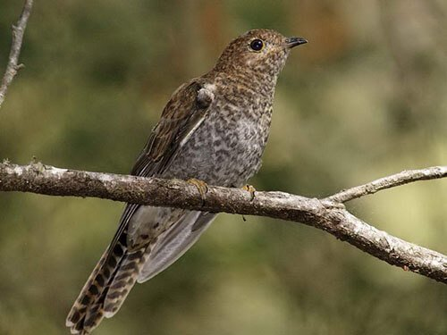 Fan-Tailed Cuckoo aspects