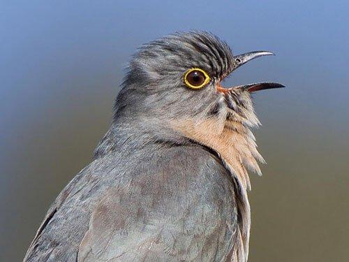Fan-Tailed Cuckoo closeup