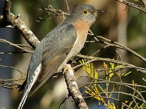 Fan-Tailed Cuckoo description