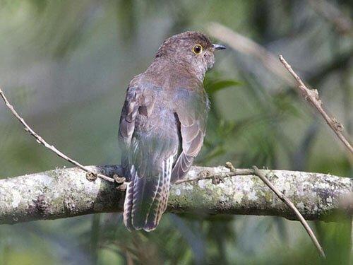 Fan-Tailed Cuckoo feathering