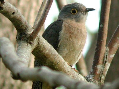 Fan-Tailed Cuckoo habitat