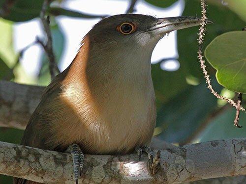 Great Lizard Cuckoo closeup