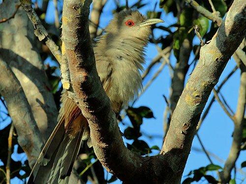 Great Lizard Cuckoo habitat