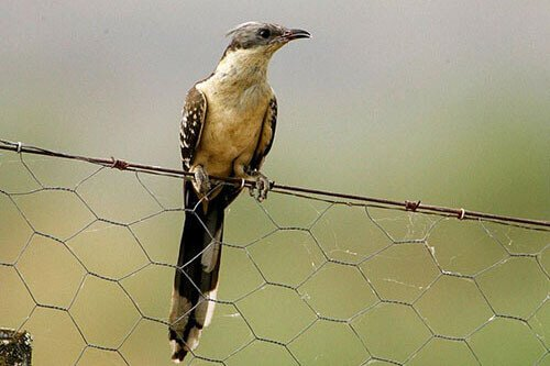 Great-Spotted Cuckoo aspects