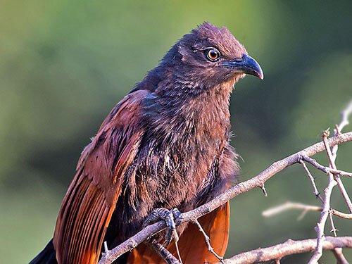 Greater Coucal closeup