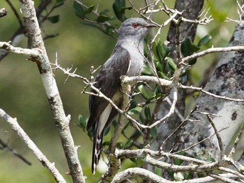 Grey-Bellied Cuckoo closeup