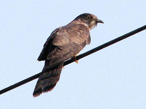 Grey-Bellied Cuckoo description