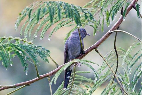 Grey-Bellied Cuckoo habitat
