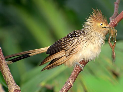 Guira Cuckoo habitat
