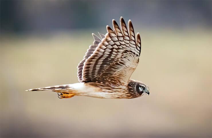 Hawks of New York