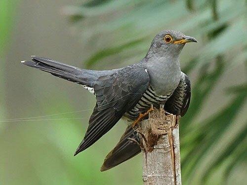Himalayan Cuckoo closeup