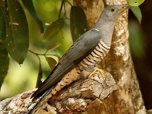 Himalayan Cuckoo habitat