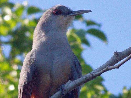 Hispaniolan Lizard Cuckoo closeup