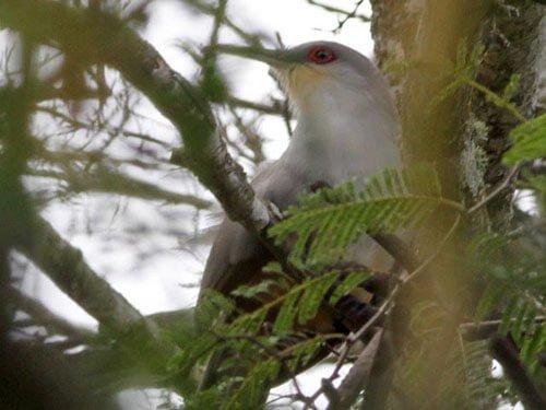 Hispaniolan Lizard Cuckoo habitat