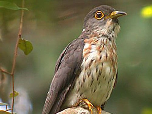 Hodgson's Hawk Cuckoo closeup