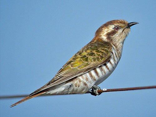 Horsfield's Bronze Cuckoo aspects