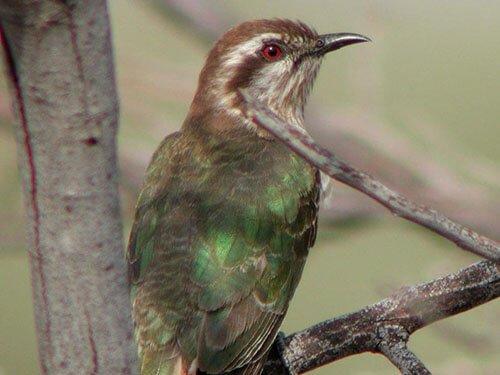Horsfield's Bronze Cuckoo closeup