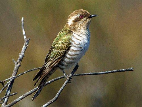 Horsfield's Bronze Cuckoo habitat