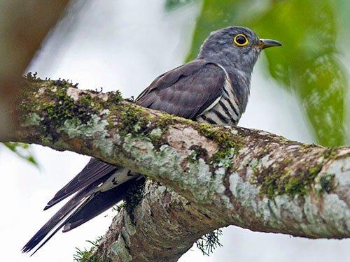 Indian Cuckoo aspects