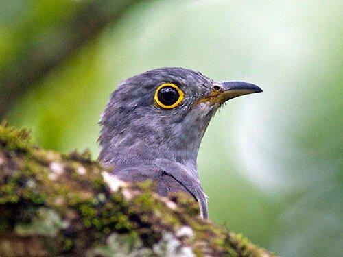 Indian Cuckoo closeup