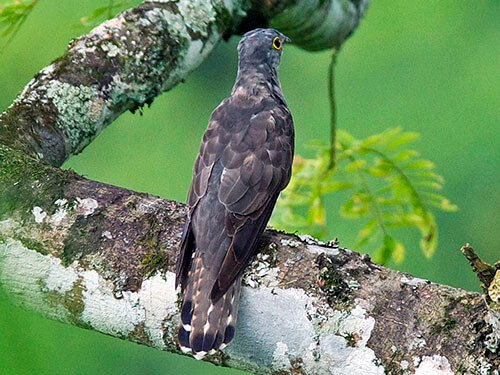 Indian Cuckoo habitat