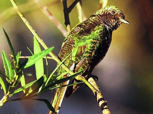 Klass's Cuckoo habitat