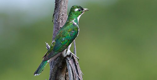 Klass's Cuckoo