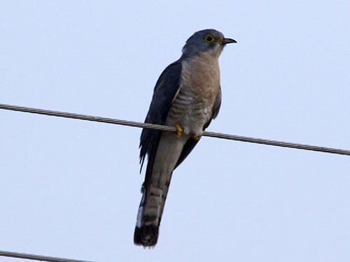 Large Hawk Cuckoo closeup