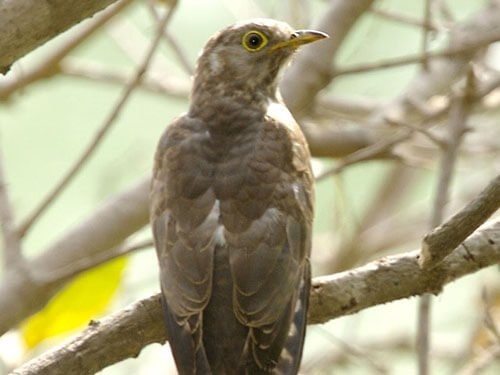 Large Hawk Cuckoo habitat