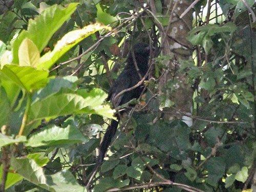 Lesser Black Coucal