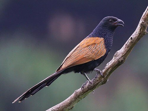 Lesser Coucal aspects
