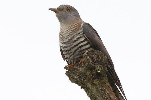 Lesser Cuckoo closeup