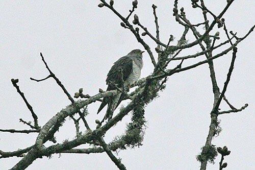 Lesser Cuckoo habitat