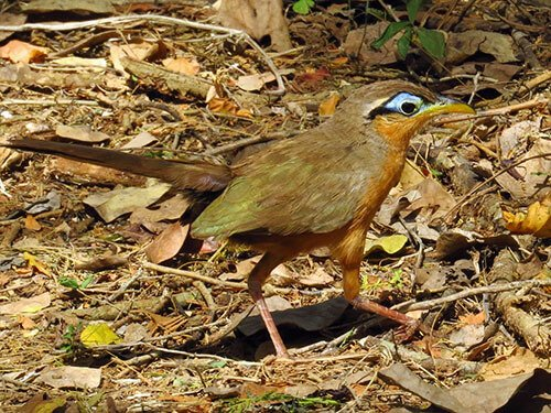 Lesser Ground Cuckoo closeup