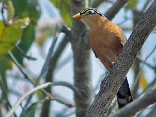 Lesser Ground Cuckoo habitat