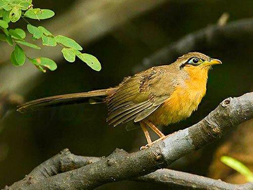 Lesser Ground Cuckoo