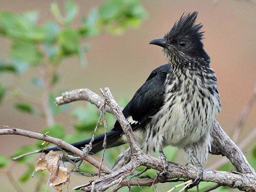 Levaillant's Cuckoo closeup