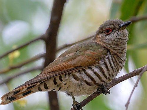 Little Bronze Cuckoo closeup