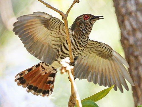 Little Bronze Cuckoo description