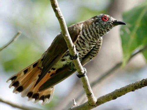 Little Bronze Cuckoo habitat