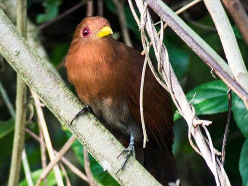 Little Cuckoo closeup