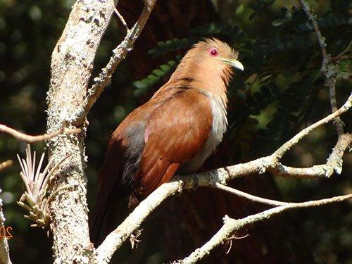 Little Cuckoo habitat