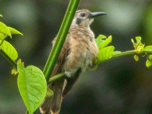 Long-Billed Cuckoo