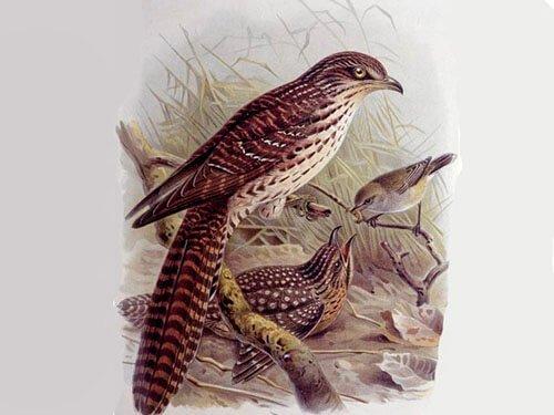 Long-Tailed Koel