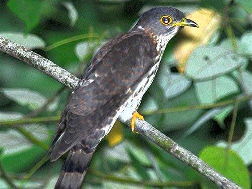 Malaysian Hawk Cuckoo closeup